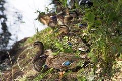 Patos en una granja Fotografía de archivo libre de regalías