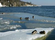 Patos en una masa de hielo flotante de hielo Fotografía de archivo libre de regalías