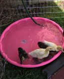 Patos en una piscina Imágenes de archivo libres de regalías