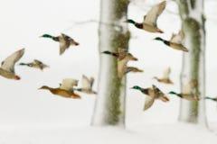 Patos en ventisca Imágenes de archivo libres de regalías