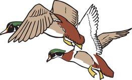 Patos en vuelo Foto de archivo libre de regalías