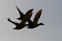 Patos en vuelo imagen de archivo libre de regalías