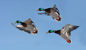 Patos en vuelo Imagenes de archivo