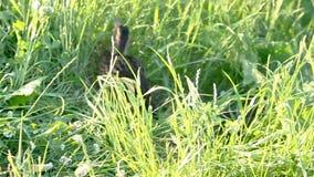 Patos entre alta hierba verde almacen de metraje de vídeo