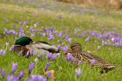 Patos entre flores do açafrão Fotografia de Stock