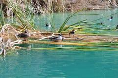 Patos entre os juncos Foto de Stock