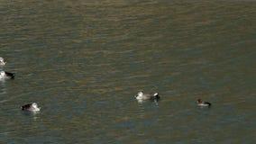 Patos europeos de la punto-cuenta que flotan en el agua picada metrajes