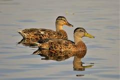 Patos fêmeas do pato selvagem no rio fotos de stock royalty free