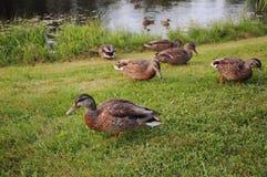 Patos femeninos del pato silvestre Imagenes de archivo