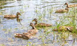 Patos flotantes Fotografía de archivo libre de regalías