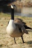 Patos fotogénicos y magníficos del pato silvestre Fotografía de archivo