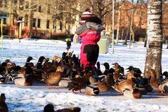 Patos hambrientos Imagen de archivo libre de regalías