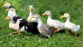 Patos hermosos Imagen de archivo