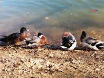 Patos hermosos Fotos de archivo libres de regalías