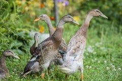 patos indianos do corredor no jardim Imagem de Stock