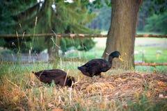 Patos indianos masculinos pretos do corredor Foto de Stock Royalty Free