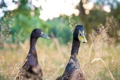 Patos indianos masculinos pretos do corredor Fotos de Stock Royalty Free