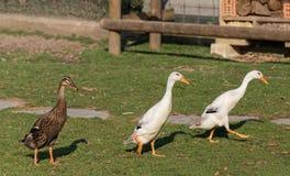 Patos indios del corredor Imagen de archivo libre de regalías