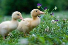 Patos jovenes Imagenes de archivo
