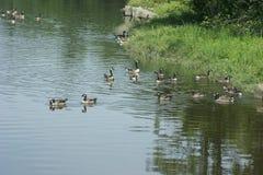 Patos junto a un riverbank en Durham, New Hampshire fotografía de archivo libre de regalías