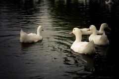 Patos Stock Image