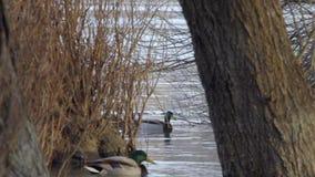 Patos lindos en el río Danubio almacen de video