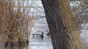 Patos lindos en el río Danubio metrajes