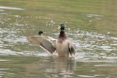 Patos masculinos del pato silvestre Fotos de archivo libres de regalías