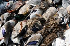 Patos muertos Imagen de archivo libre de regalías