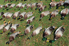 Patos muertos Imagen de archivo