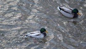 Patos na água Fotografia de Stock Royalty Free