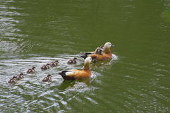 Patos na água Fotografia de Stock