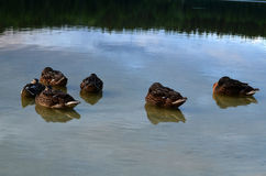 Patos na água Foto de Stock Royalty Free