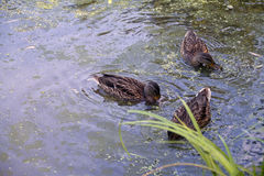 Patos na água Imagem de Stock Royalty Free