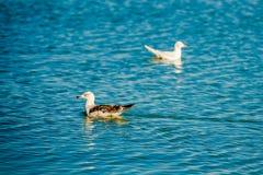 Patos na água azul Foto de Stock Royalty Free