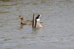 2 patos na água com a uma que mergulha para o alimento Fotos de Stock