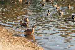 Patos na água do lago Fotos de Stock Royalty Free