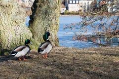 Patos na área do castelo de Frederiksborg em Hillerod Fotos de Stock Royalty Free