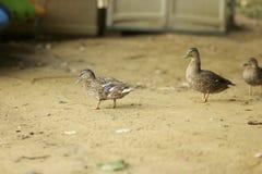 Patos na areia Foto de Stock