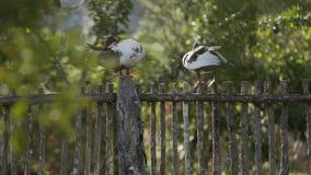 Patos na cerca filme