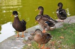 patos na costa do lago Fotos de Stock Royalty Free