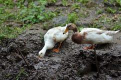 Patos na exploração agrícola Imagens de Stock