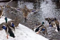Patos na fortaleza de Karela fotografia de stock