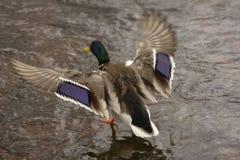 Patos na fortaleza de Karela imagem de stock royalty free