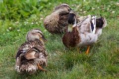 Patos na grama verde Imagem de Stock