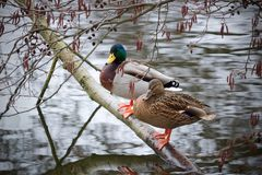 Patos na lagoa imagem de stock royalty free