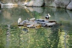 Patos na lagoa Imagens de Stock Royalty Free