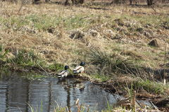 Patos na lagoa Imagem de Stock