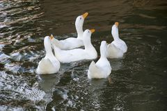 Patos na lagoa arménia Fotos de Stock Royalty Free