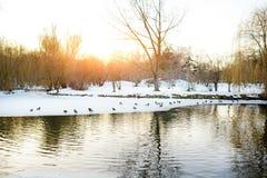 Patos na lagoa e na neve no parque no inverno Imagens de Stock Royalty Free